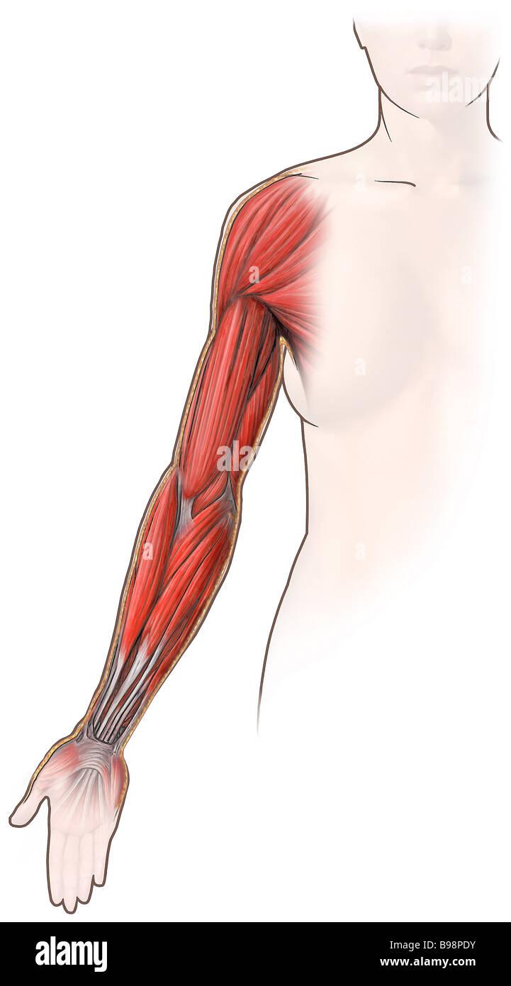 Muskeln des Arms: Ansicht von ventral Stockfoto, Bild: 22935527 - Alamy