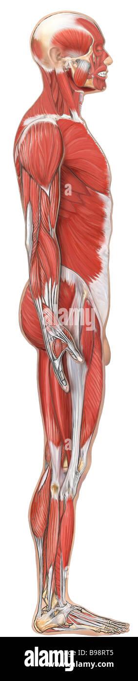 Anatomie der Muskulatur: seitliche Ansicht Stockfoto, Bild: 22936597 ...