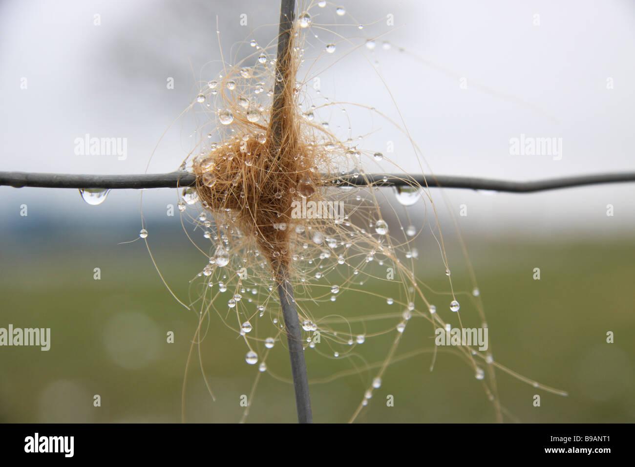 Hochlandrinder Haar Gefangen Auf Einem Zaun Mit Tau Stockfoto Bild