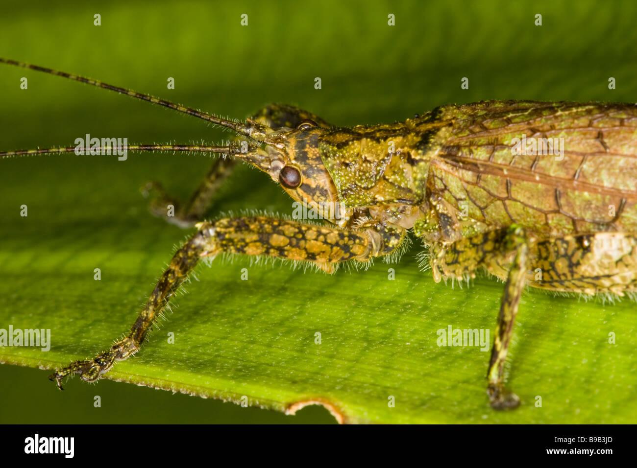 Nahaufnahme eines Bushcricket Flechten-imitieren oder Grashuepfer (Orthopteren: Tettigoniidae) Stockbild