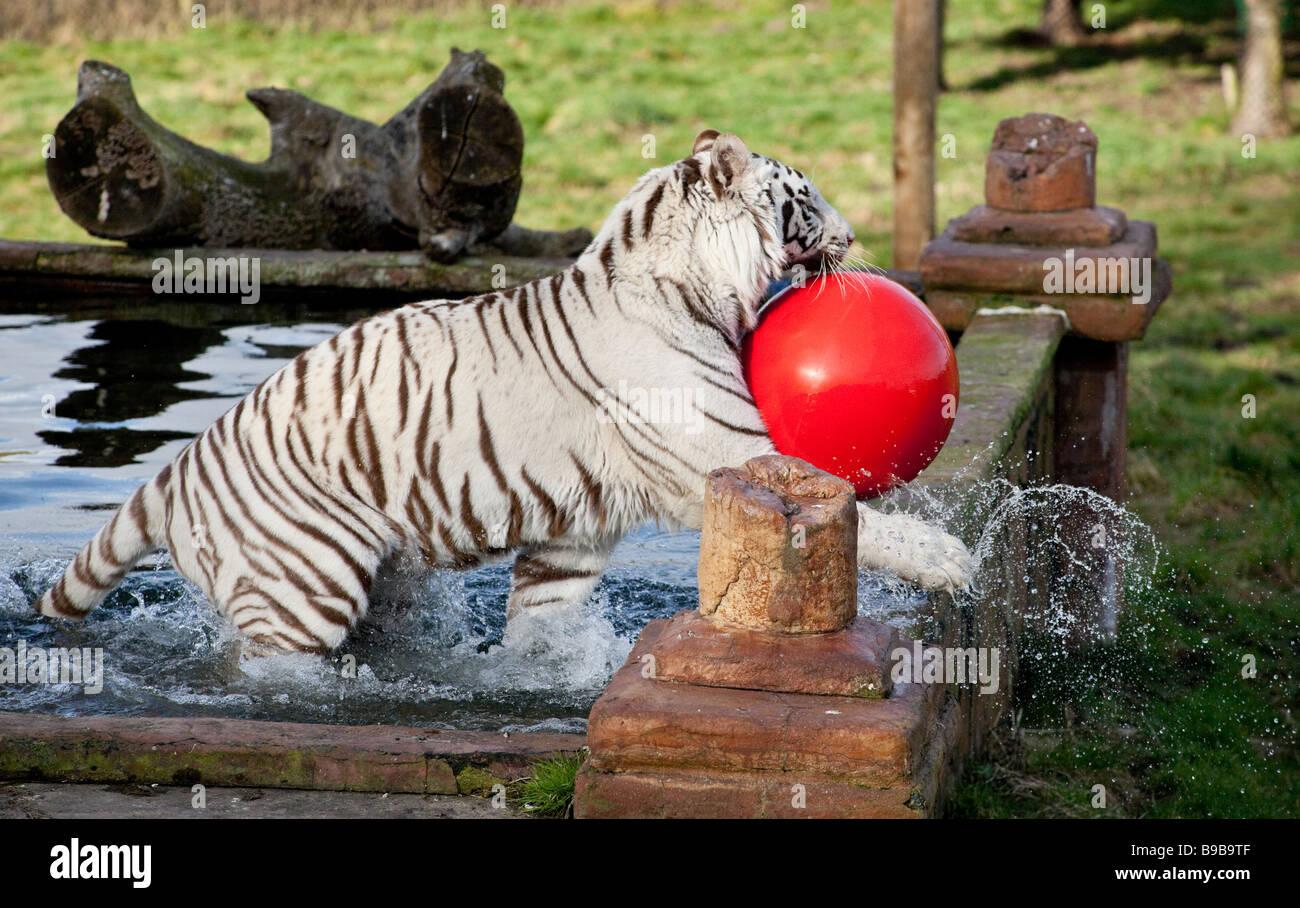 Ein weißer Tiger spielen mit einem großen roten Ball an der West Midland Safaripark Worcestershire England UK Stockfoto