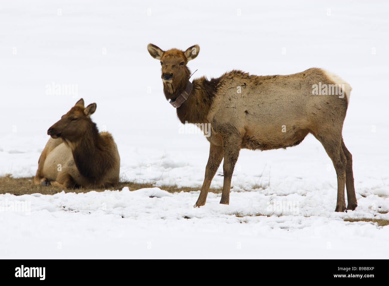 Elch Kuh mit Tracking-Kragen Cervus canadensis Stockbild