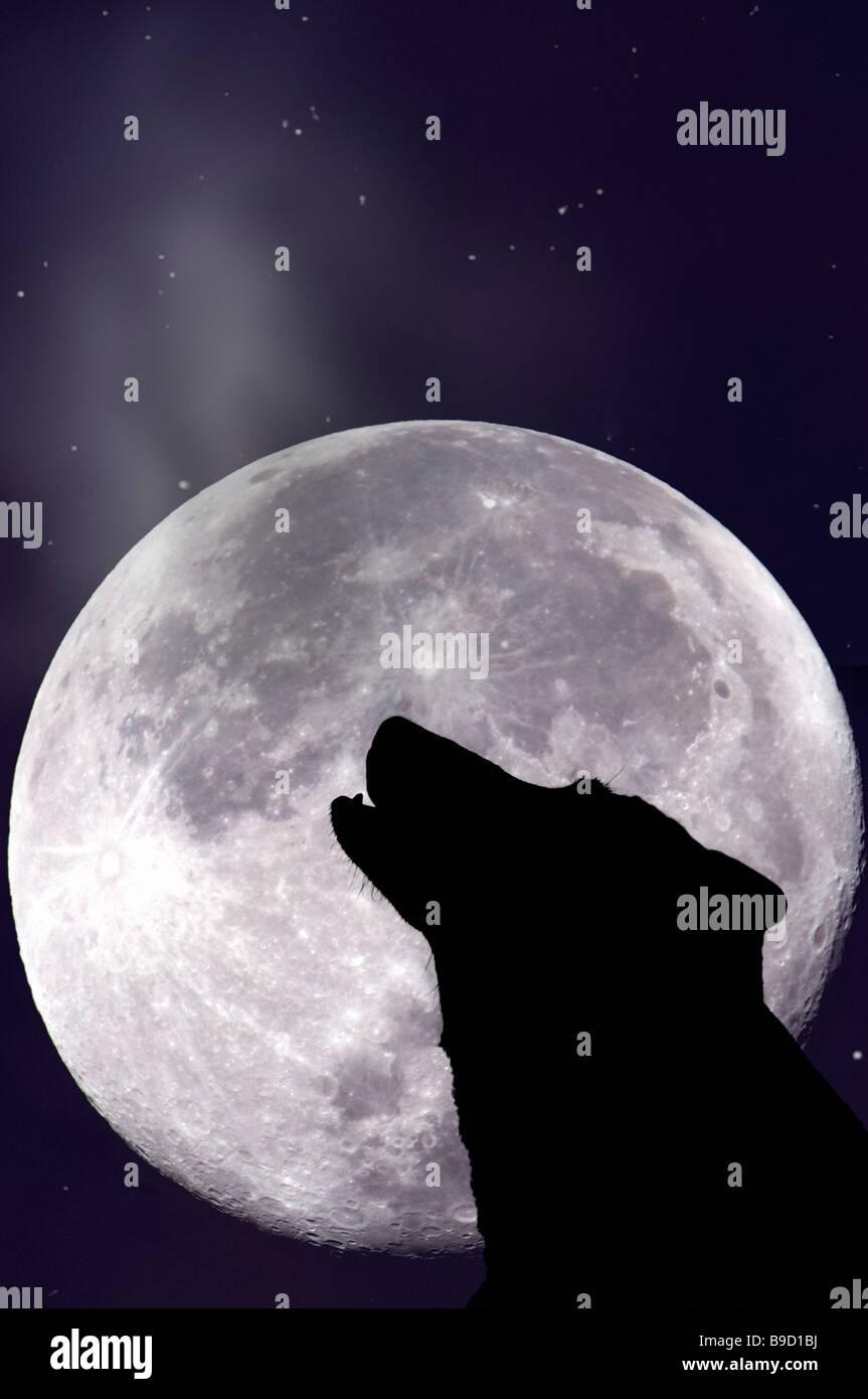 Wolf Mond anheulen Stockbild