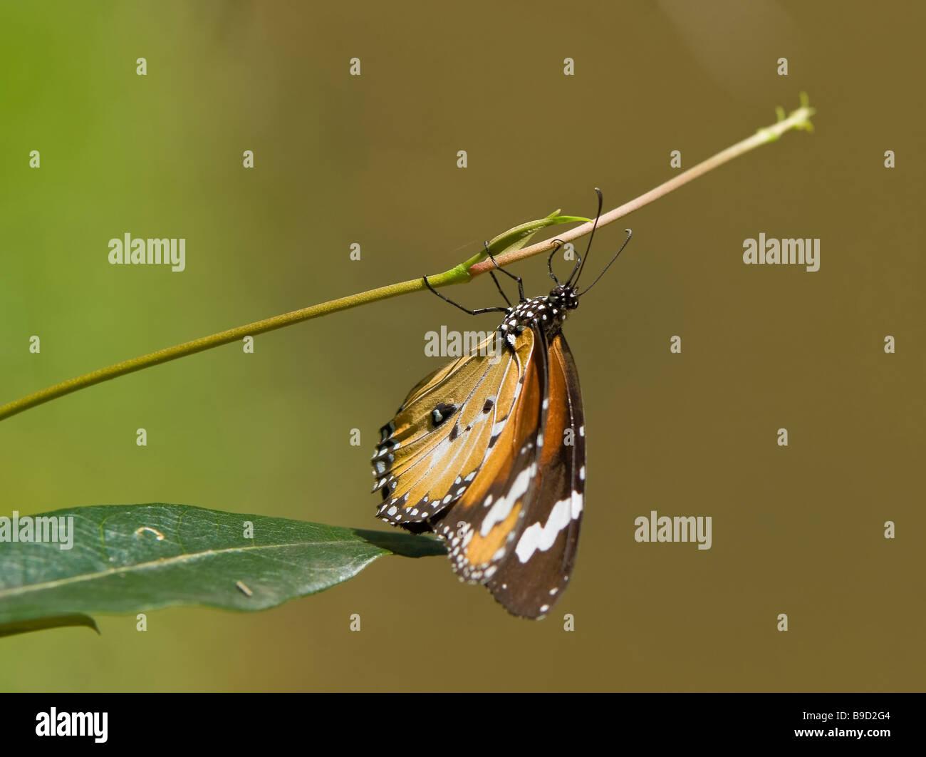 tolles Bild eines Schmetterlings aus einem Ast hängend Stockbild
