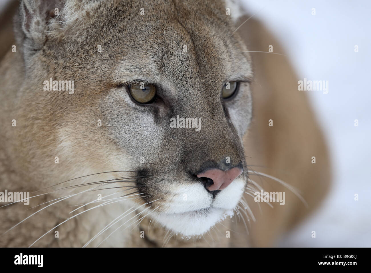PUMA Profelis Concolor close up Broached Beobachtung