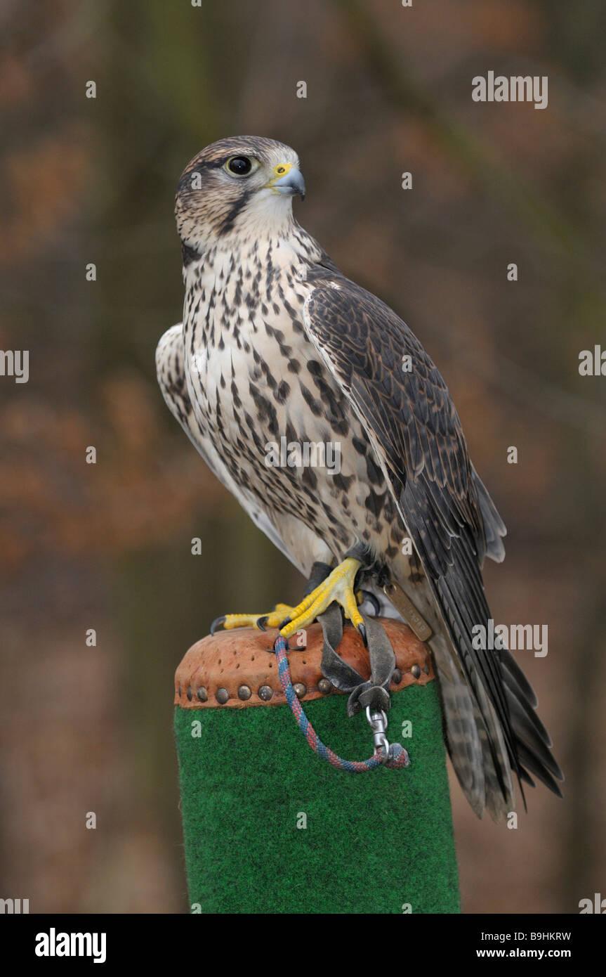 Saker Falcon (Falco Cherrug) auf einem Pfosten Stockbild