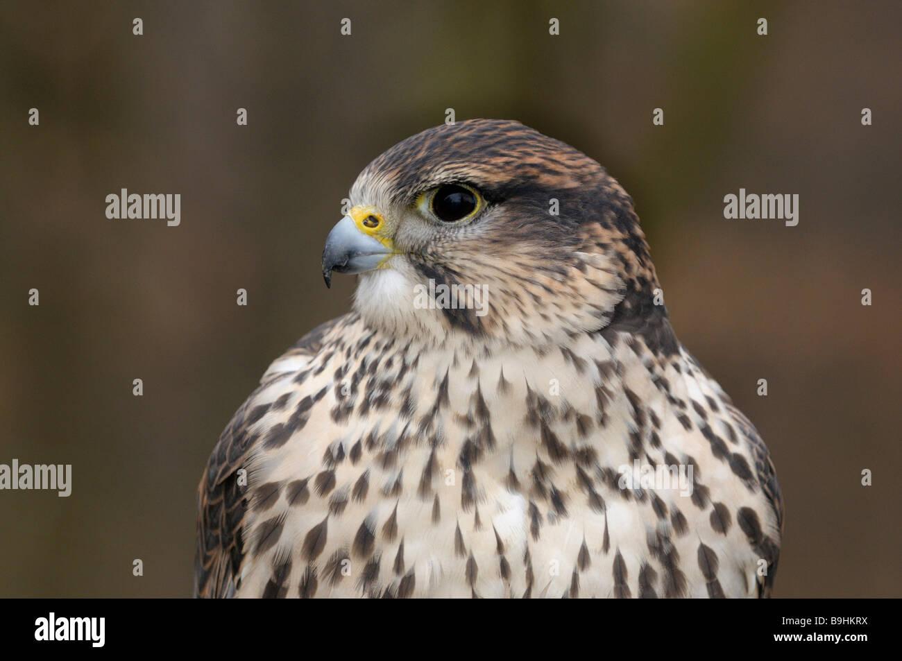 Saker Falcon (Falco Cherrug), portrait Stockbild