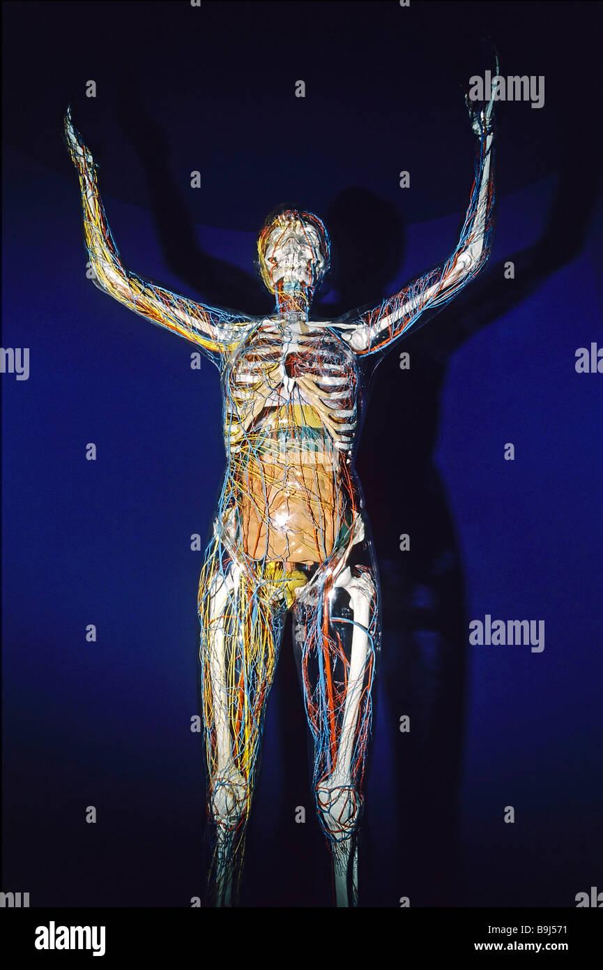 Transparente menschlichen Anatomie Modell, Glas Frau, Deutsches ...