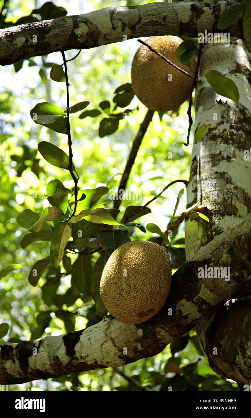 Brotfruchtbaum mit Früchten Ecoparque de Una Bahia Brasilien Südamerika Stockbild
