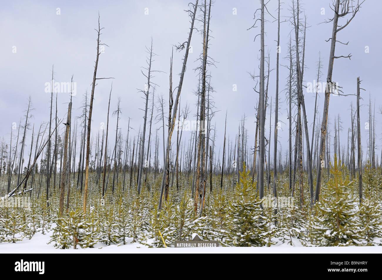 Natürlich nachgesät Drehkiefern, nachdem 1988 in Yellowstone-Nationalpark im Winter brennen Stockbild