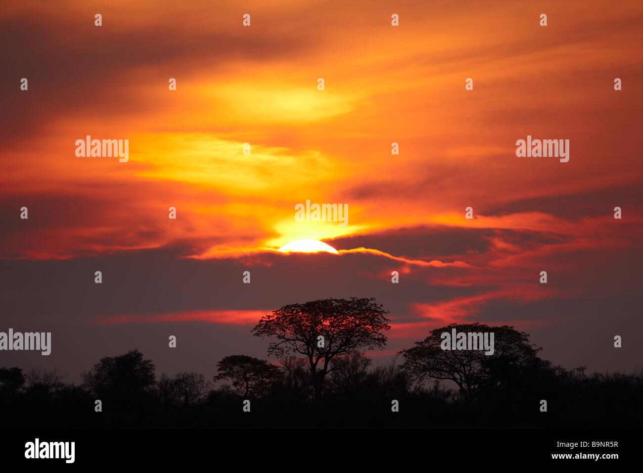 Silhouette der Mopane Bäume bei Sonnenuntergang, Krüger Nationalpark, Südafrika Stockbild