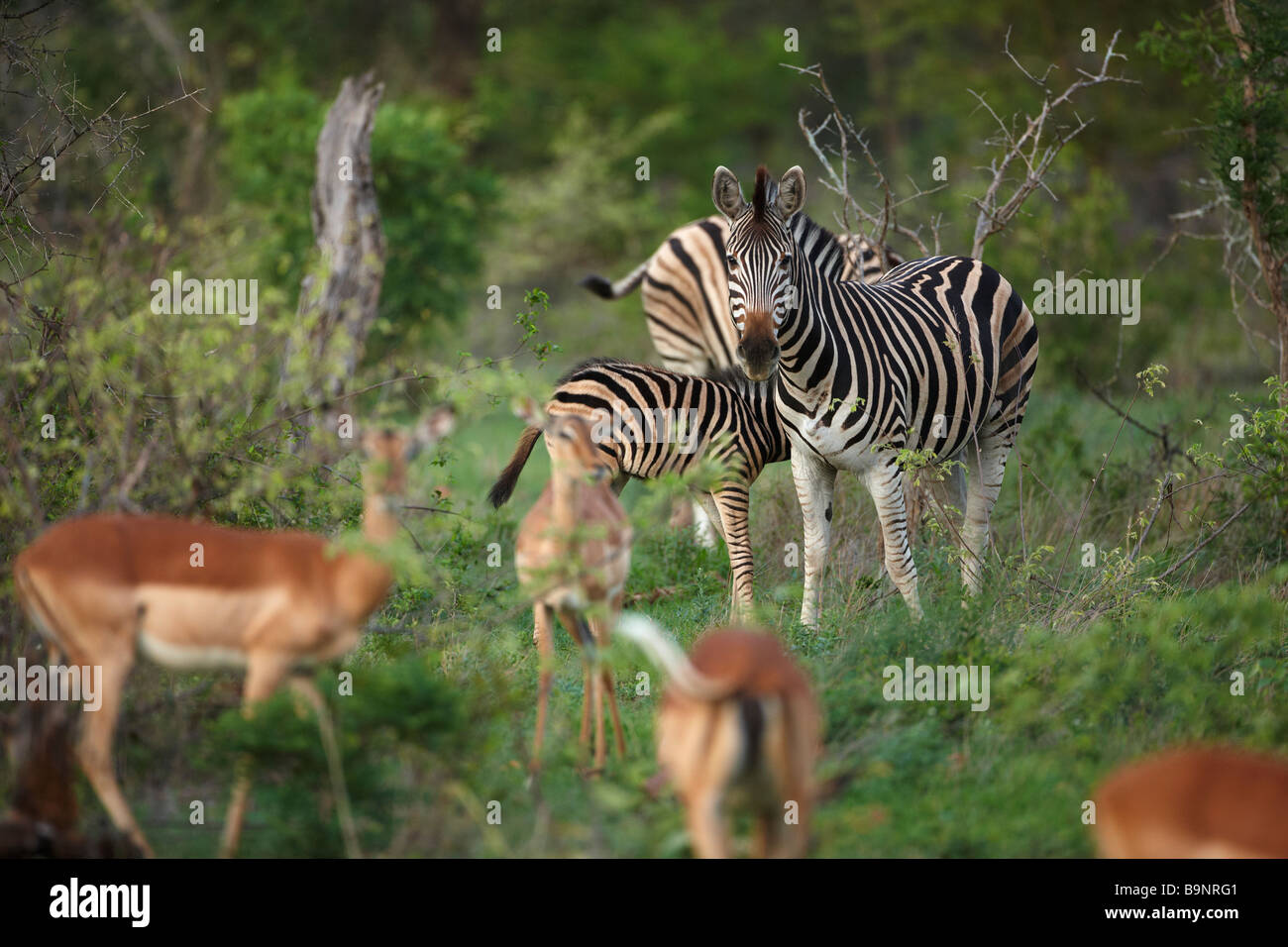 Impalas und Zebras in den Busch, Krüger Nationalpark, Südafrika Stockbild