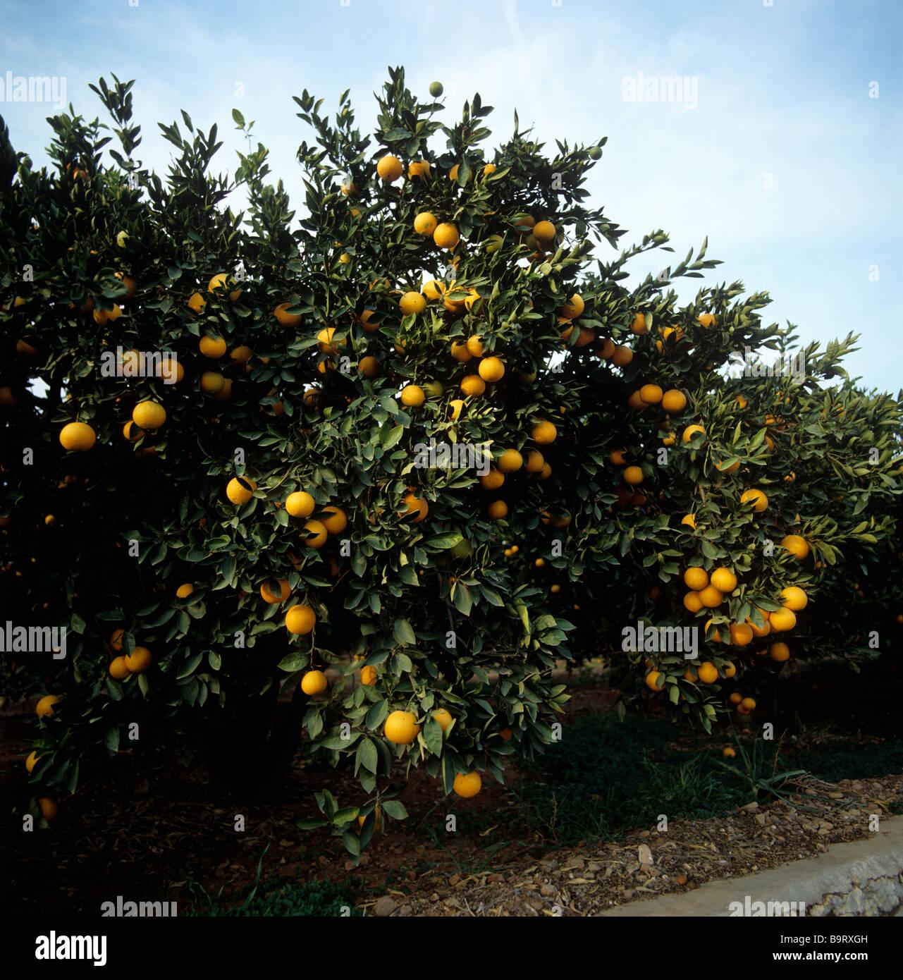 Orangenbäume in einem Obstgarten mit reifen Früchten in der Nähe von Valencia, Spanien Stockbild