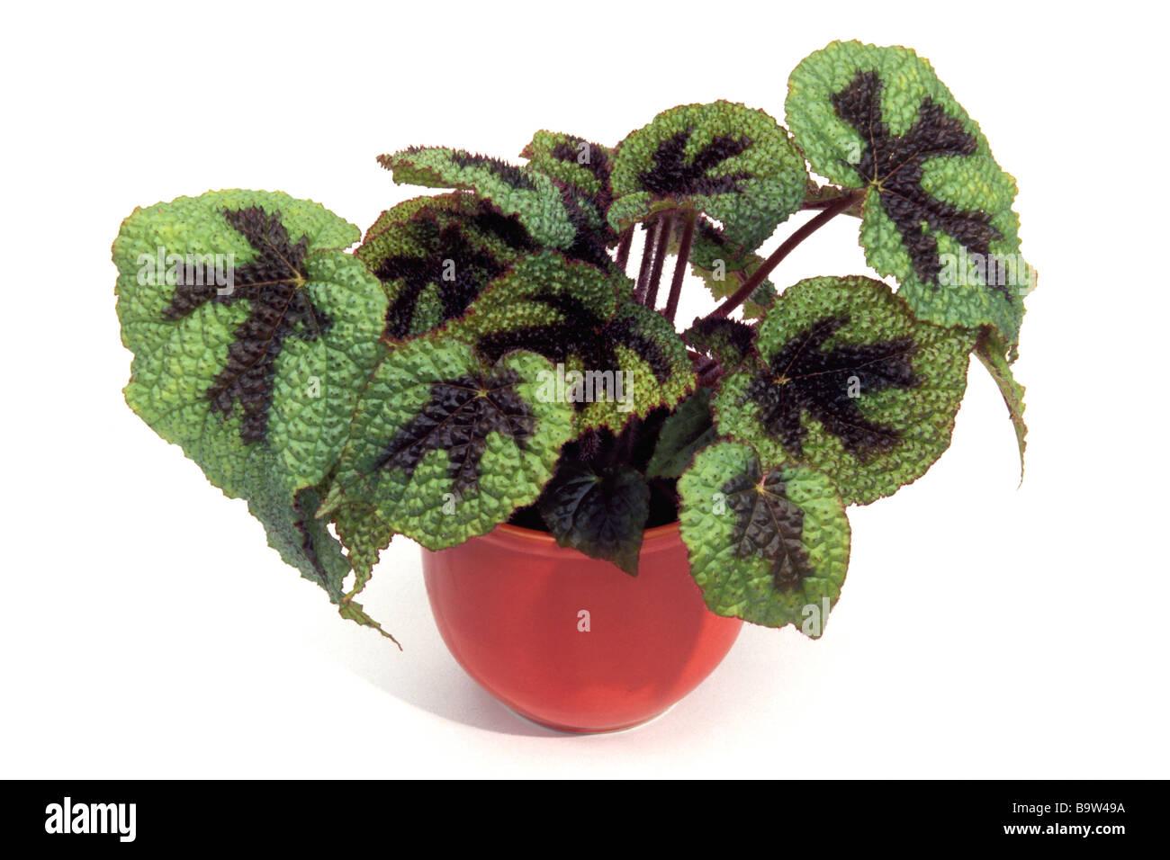 Rex begonia painted blatt begonie begonia rex hybrid topfpflanze studio bild stockfoto bild - Begonie zimmerpflanze ...