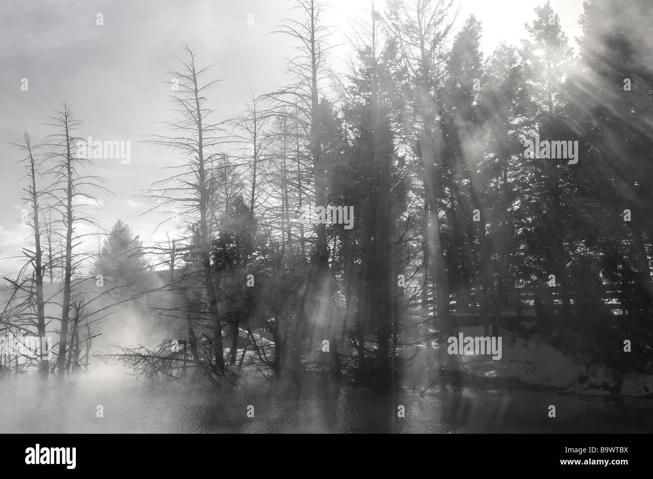 Lichtstrahlen Streaming durch Pinien und Dampf an kanarischen Frühling pool bei Mammoth Hot Springs Yellowstone Stockbild