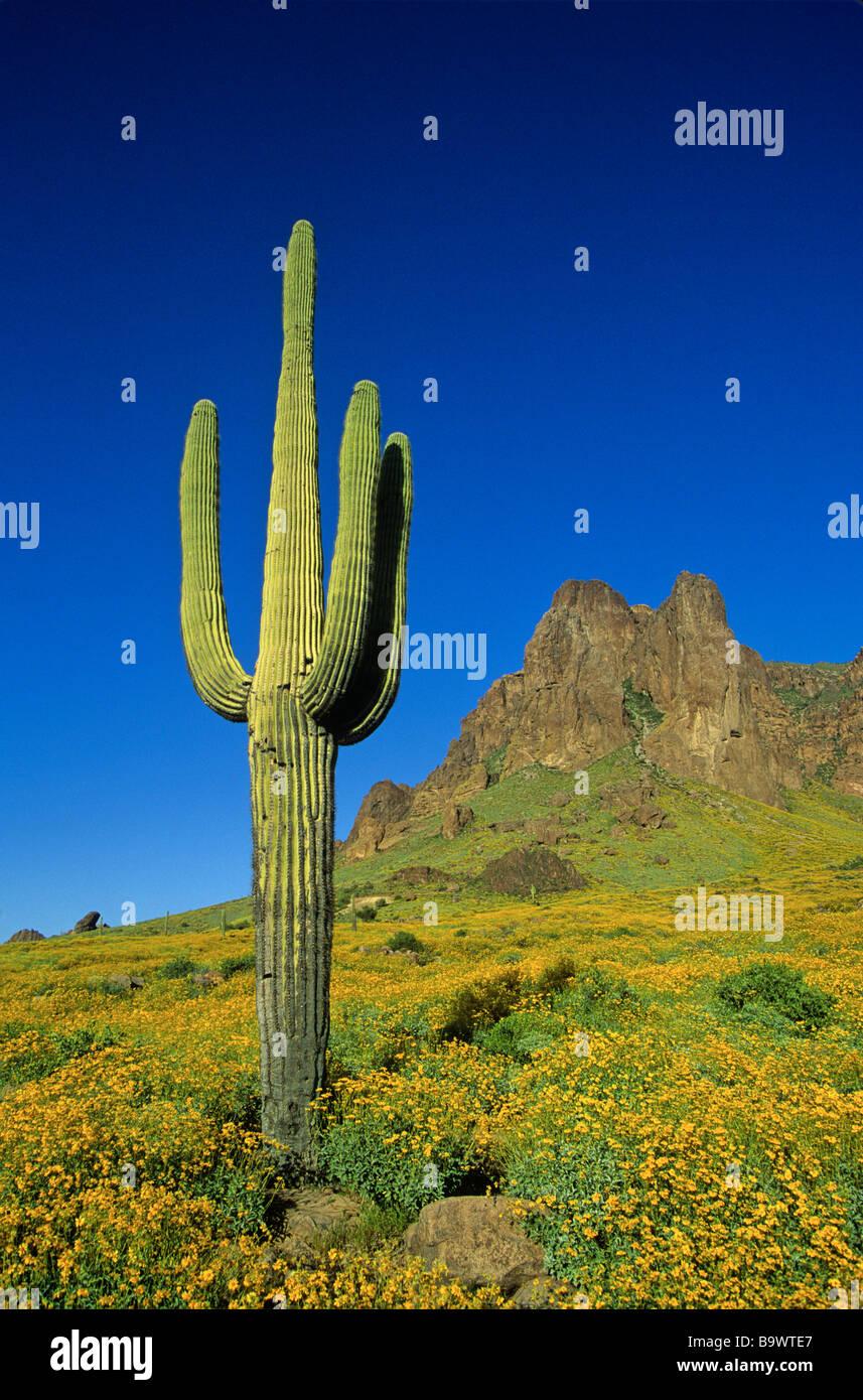Frühling in der Wüste Saguaro-Kaktus und Blüte Brittlebush im Tonto National Forest Superstition Mountains in der Stockfoto