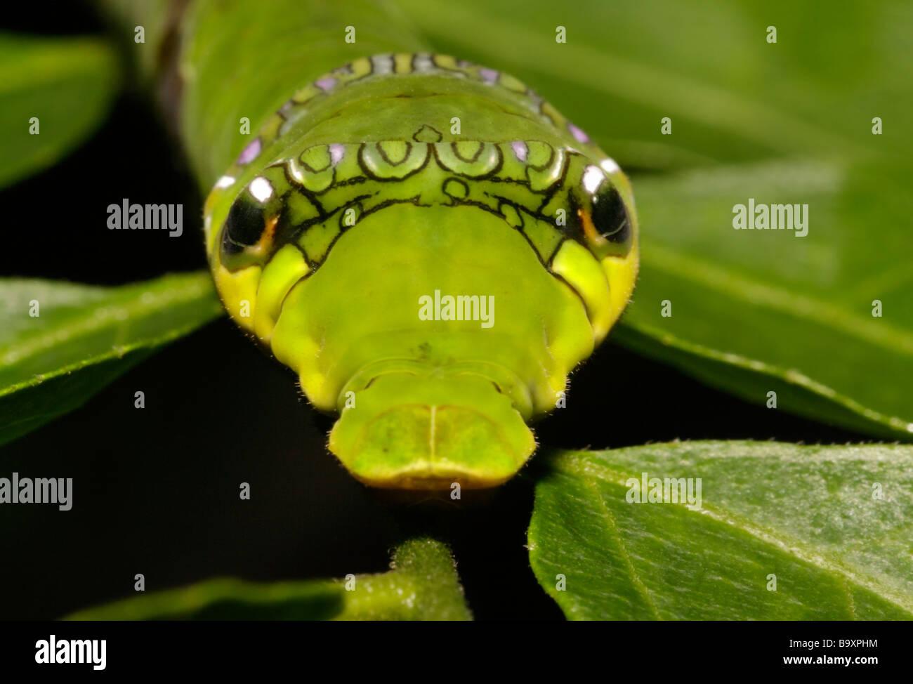 Hinteren Ende der Raupe zeigt Gesicht Mimikry Danum Valley Conservation Area Sabah Borneo Stockbild