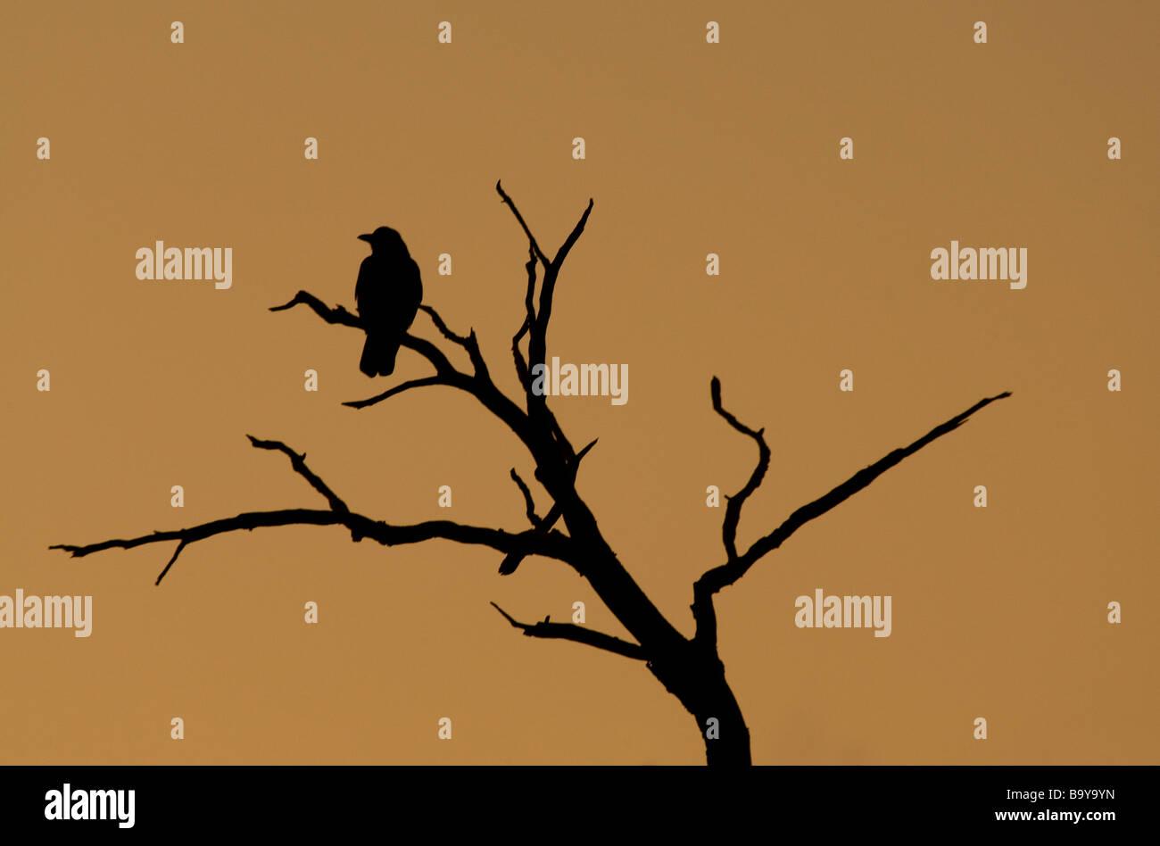Silhouette der Krähe @ Tagesanbruch am Tristed branch Stockbild