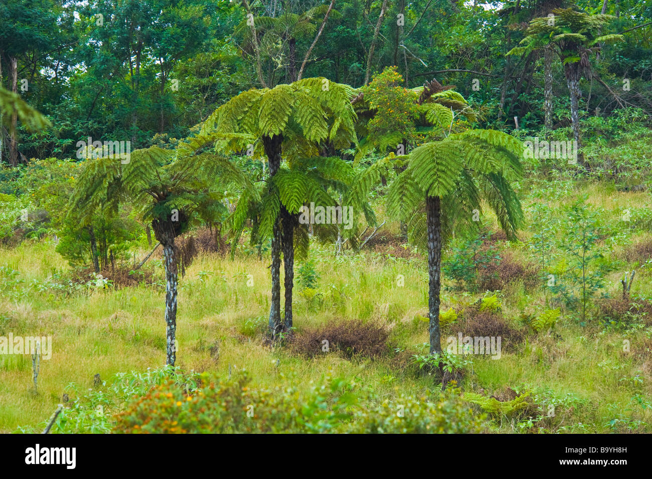 farn b ume cyathea arborea im tropischen regenwald la. Black Bedroom Furniture Sets. Home Design Ideas