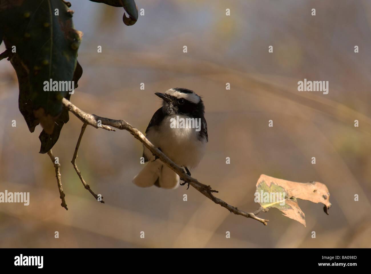 Weißer-browed Fantail Rhipidura Aureola thront auf einem Ast Stockbild