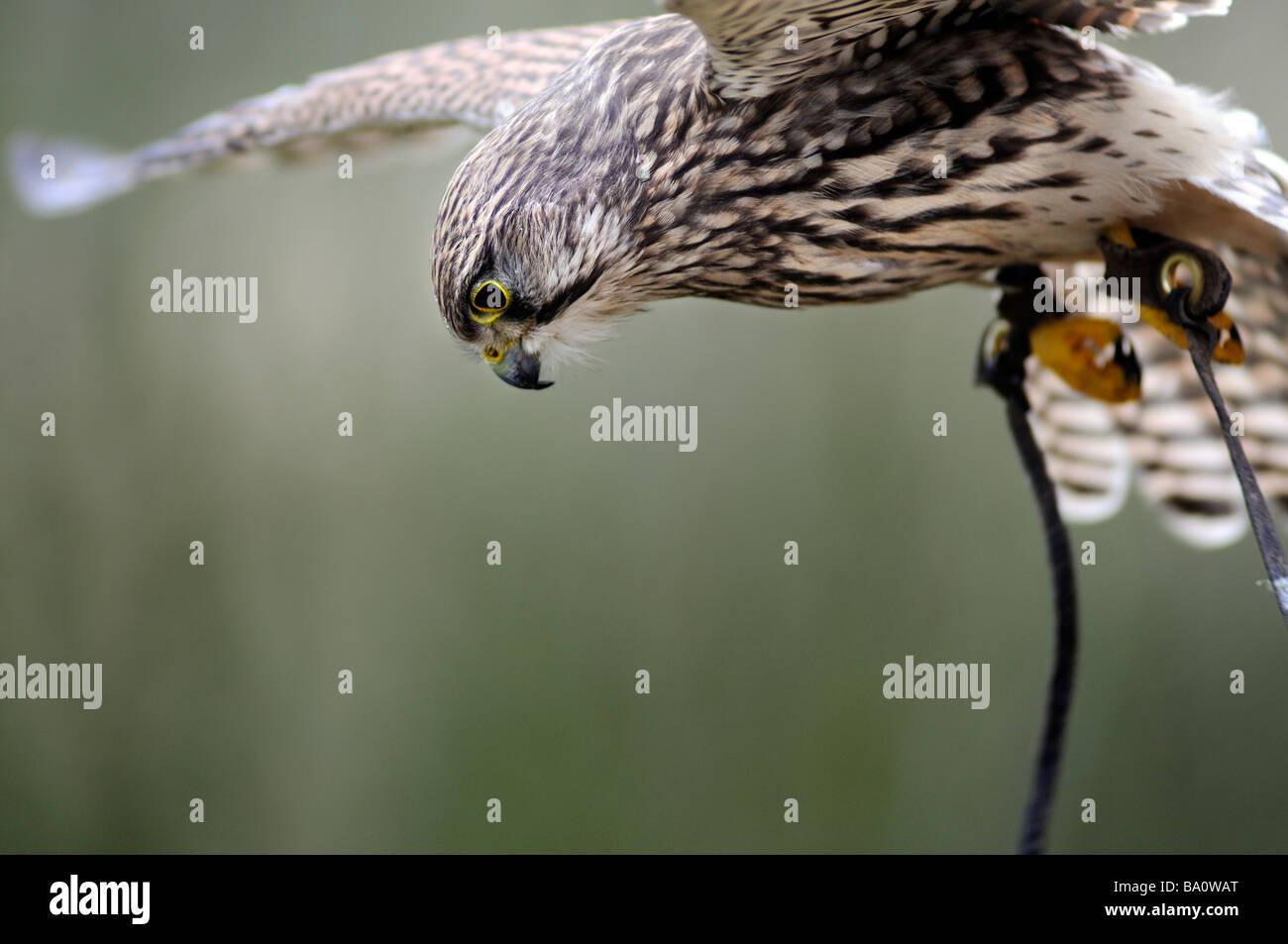 Nahaufnahme von einer Gefangenschaft Turmfalke (Falco Tinnunculus) schweben während der Jagd Stockbild