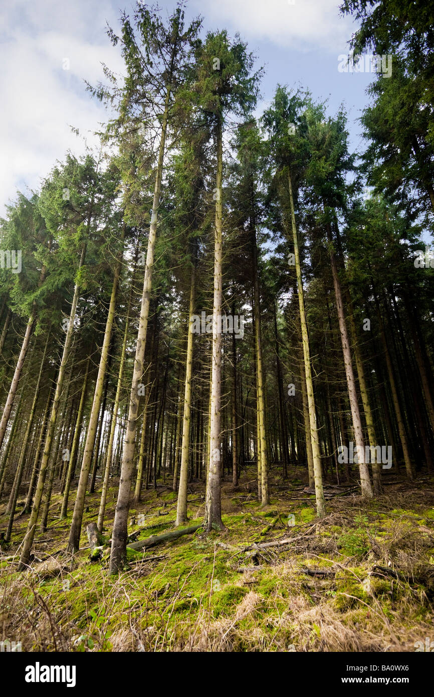 Dichten verwalteten Wald von Föhren UK Stockbild