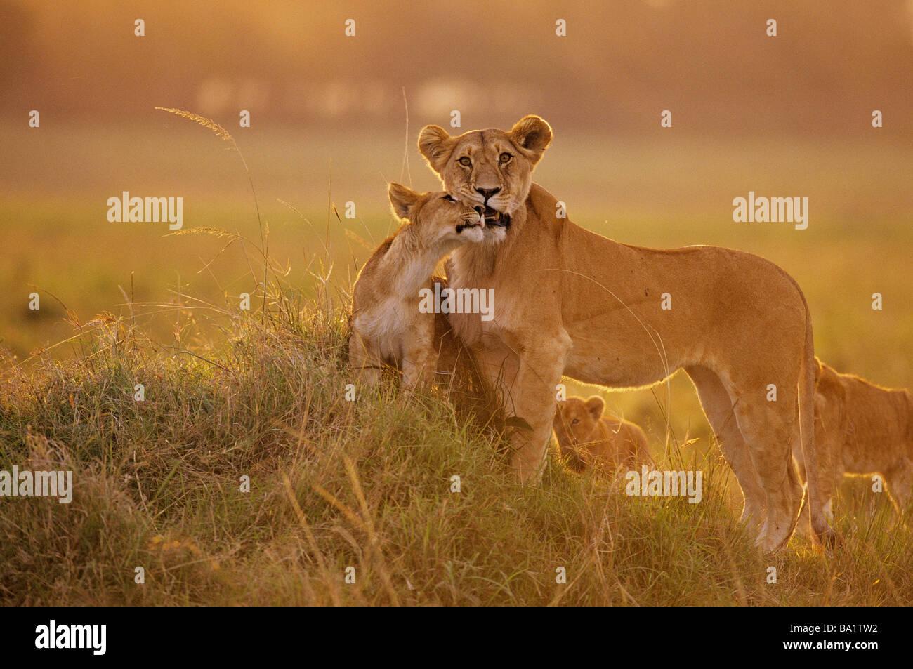 Sonnenuntergang-Nahaufnahme-Löwe-Mutter und Jungtier Stockbild