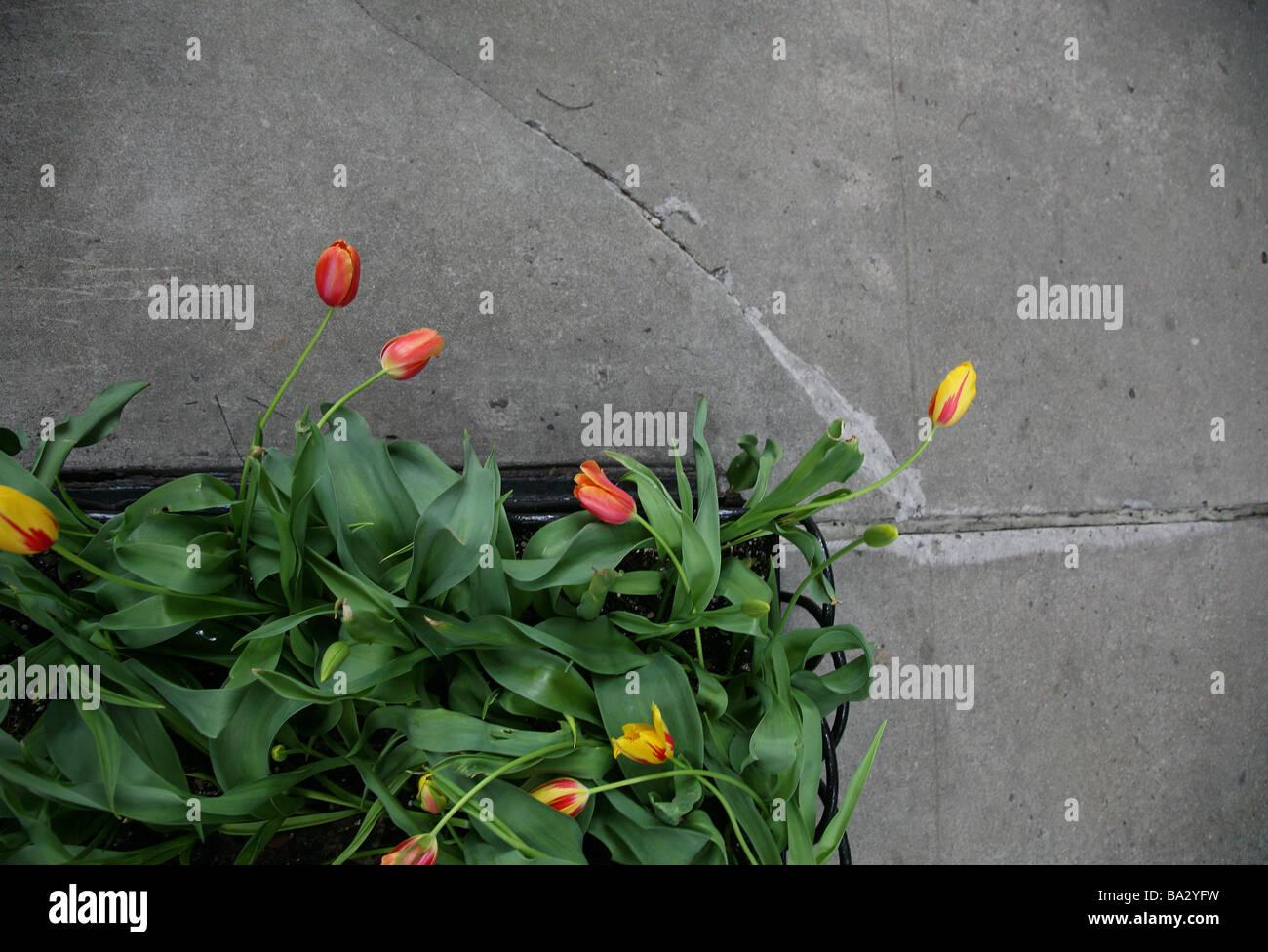beton-boden pflanztrog tulpen von oben boden beton blumenkasten