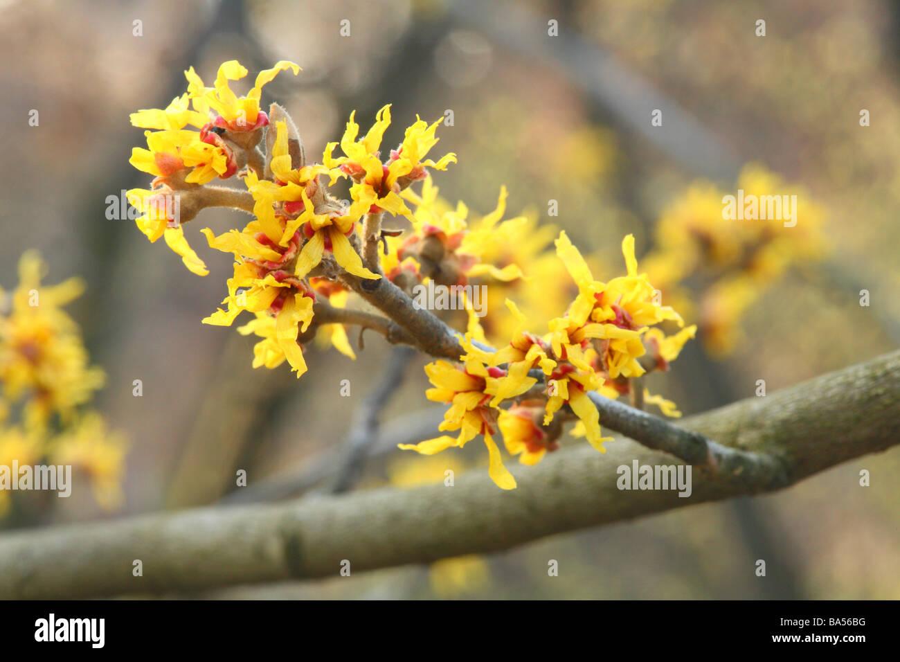 Zaubernuss Hamamelis intermediale Blumen hautnah Stockbild