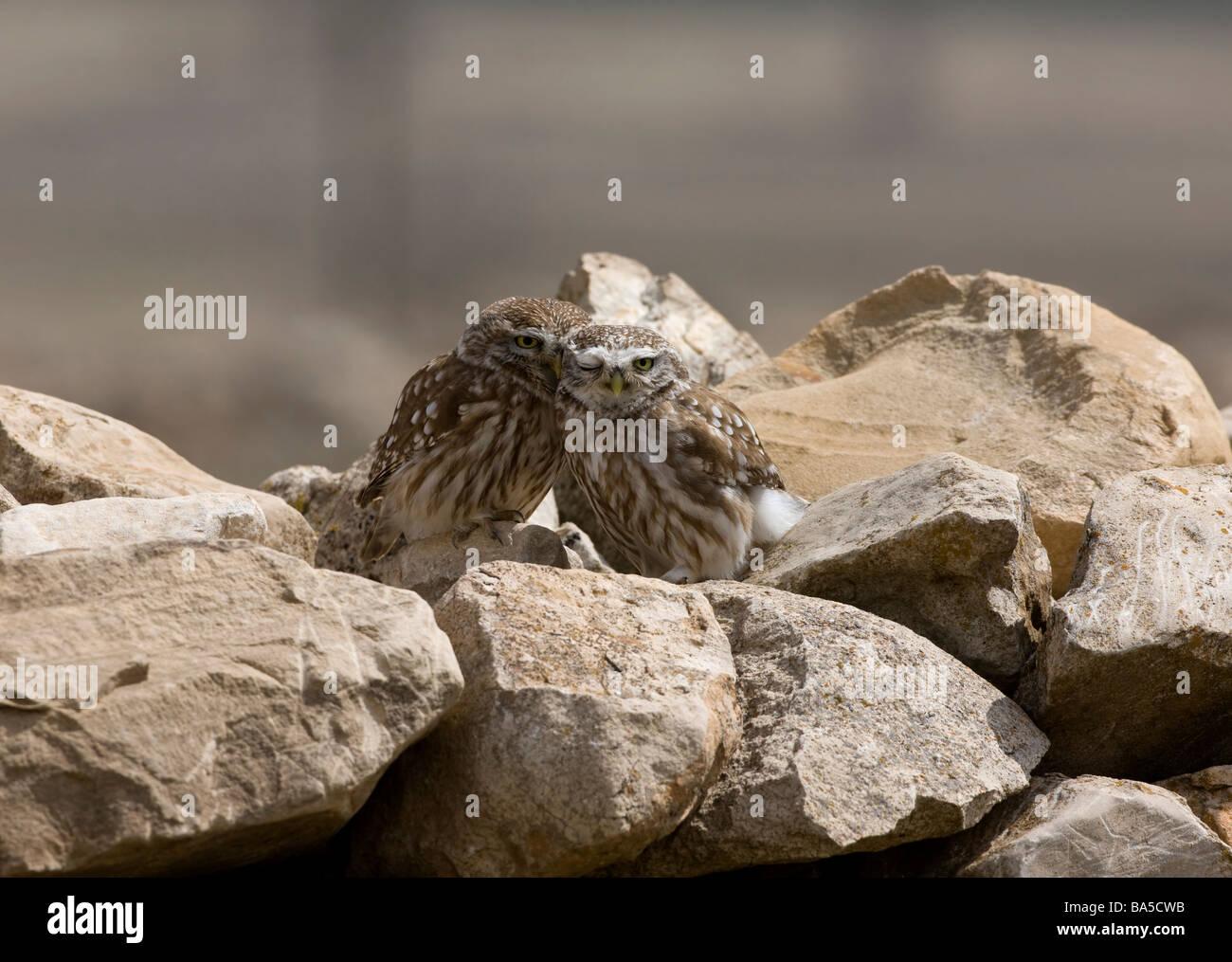Paar kleine Eulen Athene Noctua zusammen auf Felsen putzen einander gelegen Stockbild