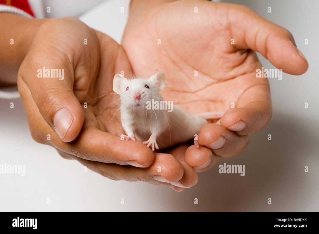 Weiße Maus Stockbild