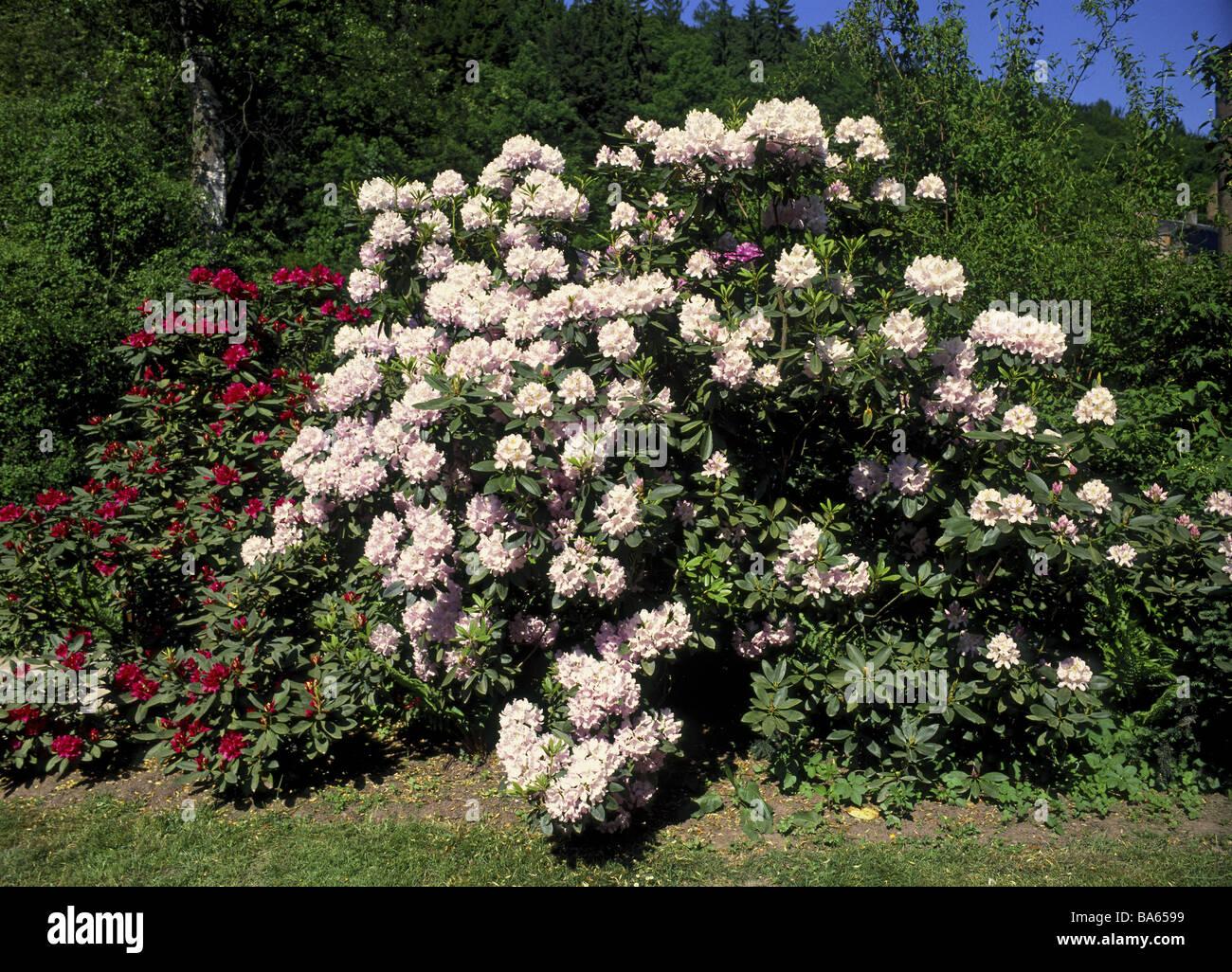 prime rhododendronpark park str ucher pflanzen ornament. Black Bedroom Furniture Sets. Home Design Ideas