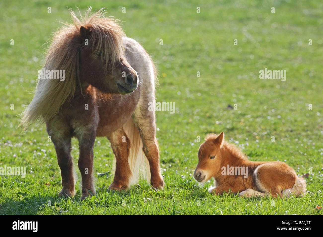 mini shetlandpony pferd stute und fohlen auf der wiese stockfoto bild 23502804 alamy. Black Bedroom Furniture Sets. Home Design Ideas