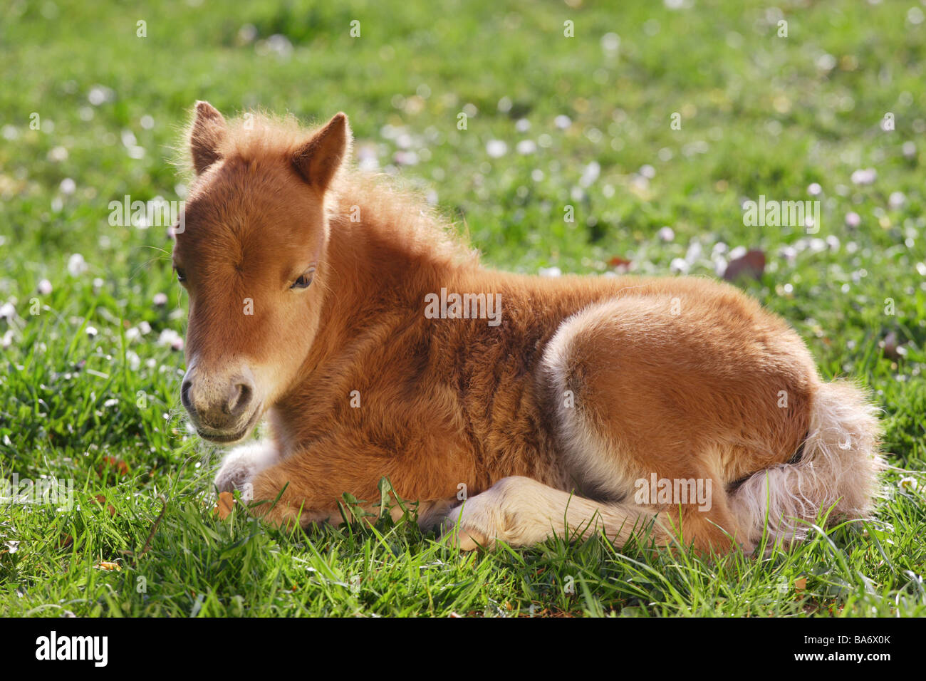 mini shetland pony fohlen im grass liegen stockfoto bild 23509043 alamy. Black Bedroom Furniture Sets. Home Design Ideas