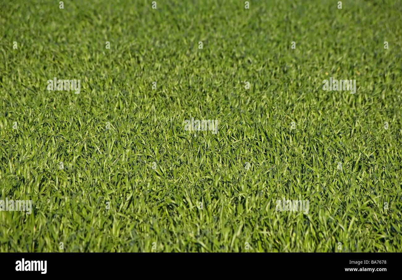 tolles Bild eines Feldes von üppig grünem Rasen Stockbild