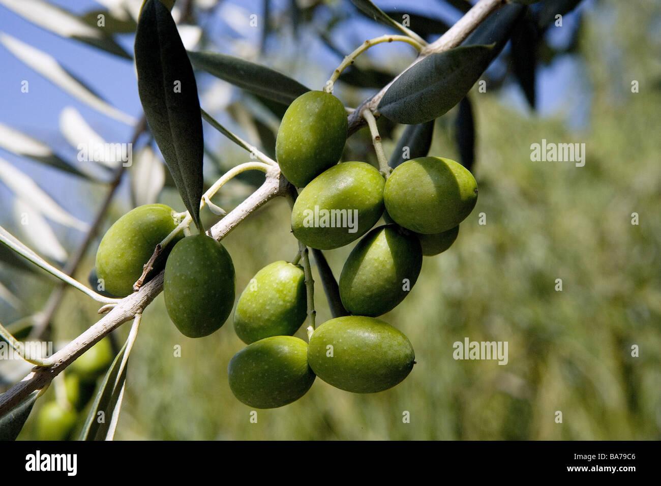 olivenbaum zweig detail oliven gr npflanze nutzpflanze lbaum olea europaea zweig bl tter die. Black Bedroom Furniture Sets. Home Design Ideas