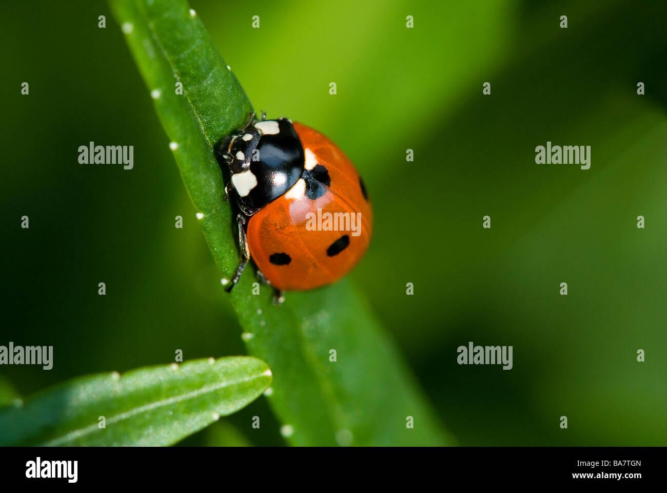 Marienkäfer in der Nähe auf einem Campanula Blatt. Detaillierte Makroaufnahme. Marienkäfer auf einem Stockbild