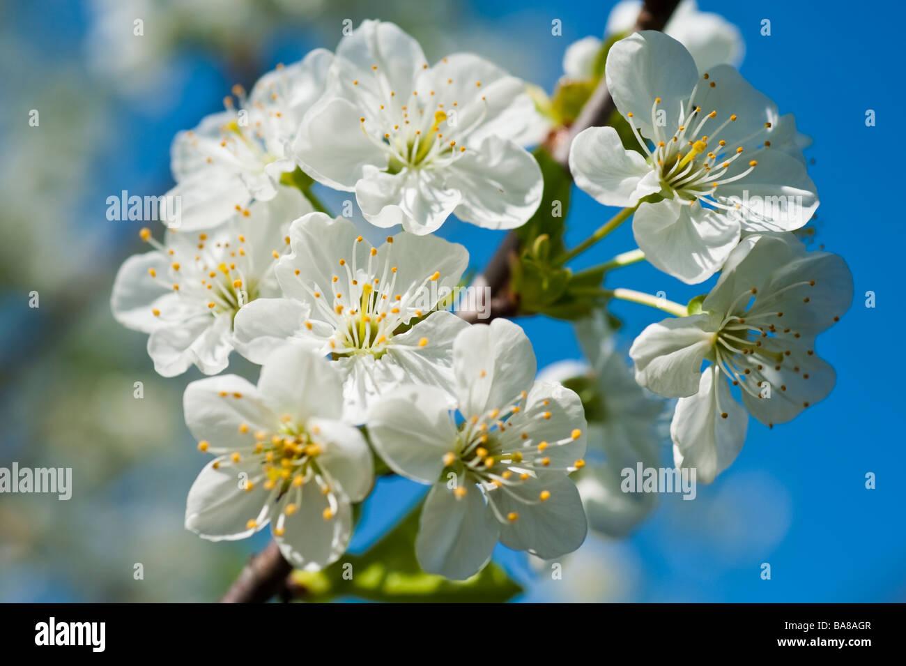 Blühende sauer Morello Kirsche Prunus Cerasus mit weißen Blüten auf einem Ast gegen blauen Himmel Stockbild