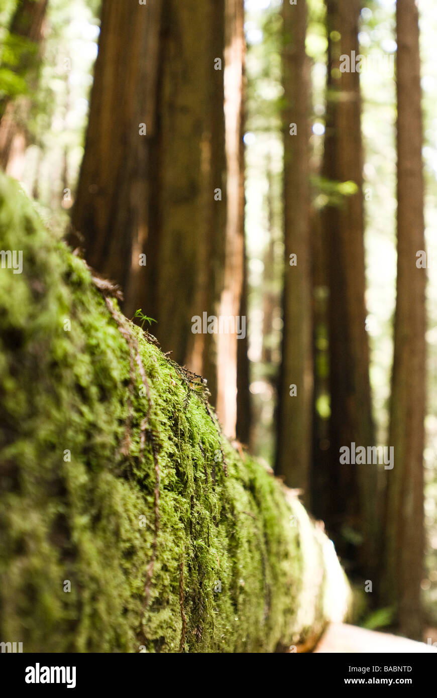 Sequoia Wald in Kalifornien Stockbild