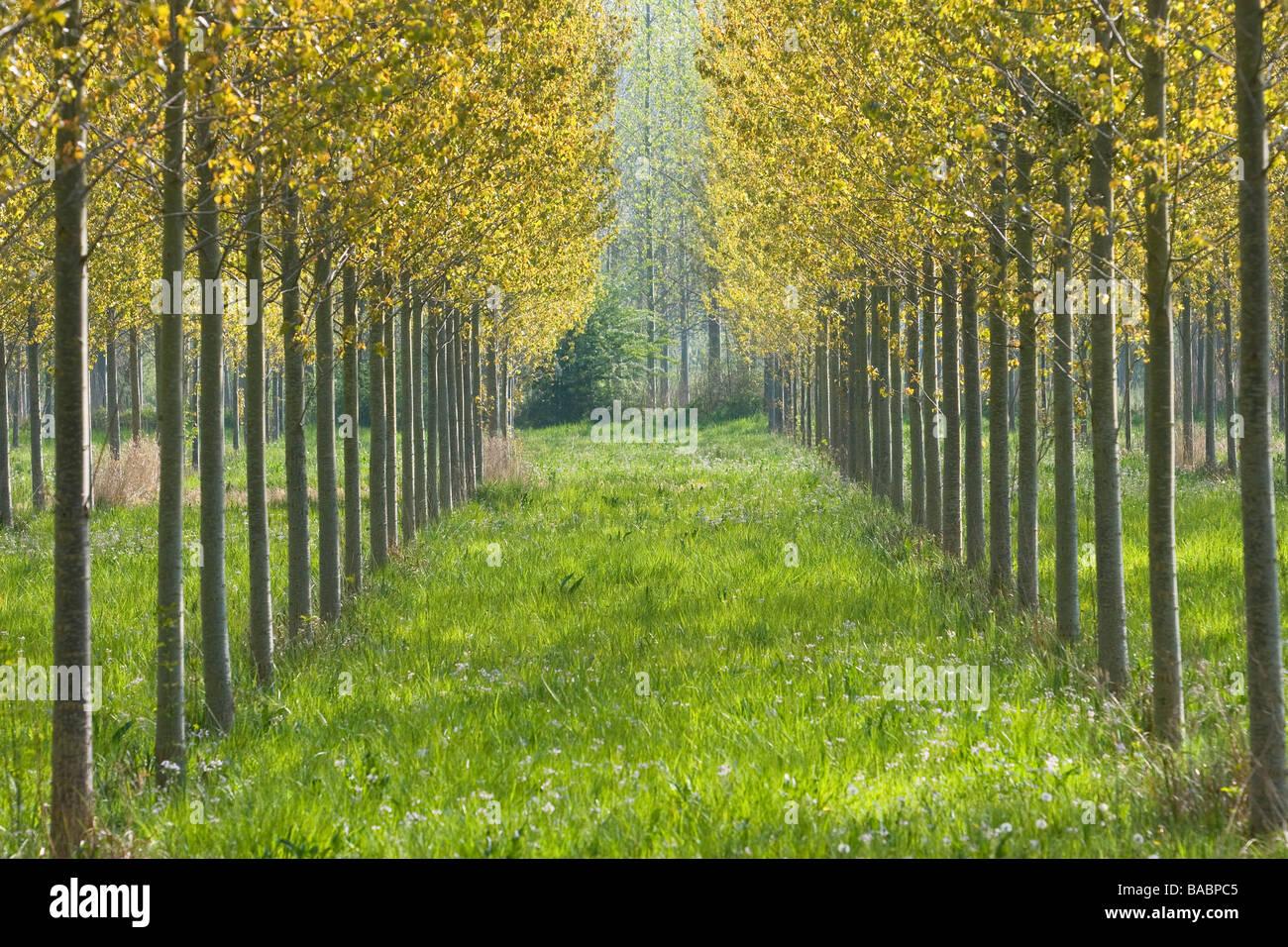 Pappel Baum Plantage Stockbild