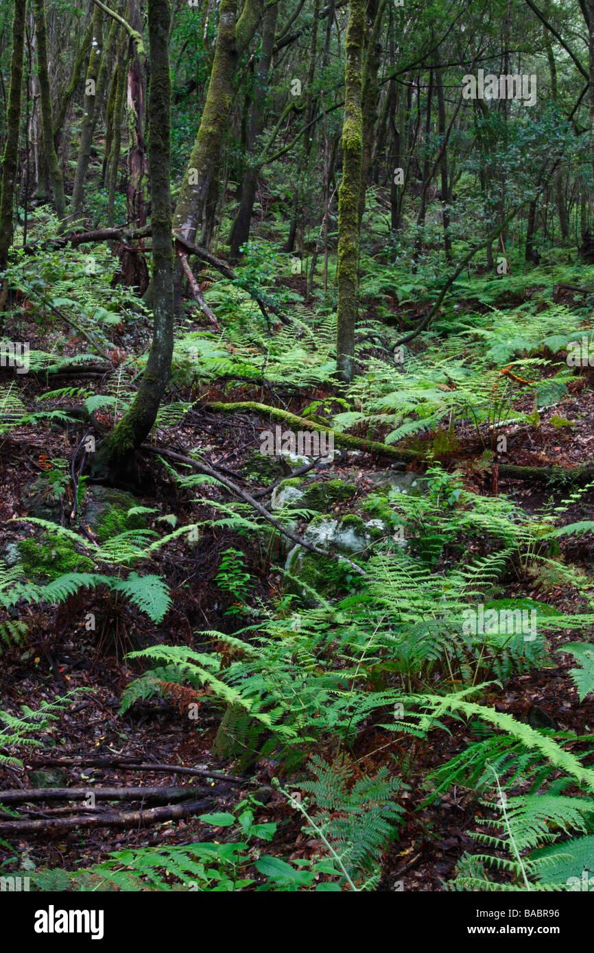 Laurisilva oder Laurel Wald auf La Gomera, Kanarische Inseln, Spanien. Stockbild