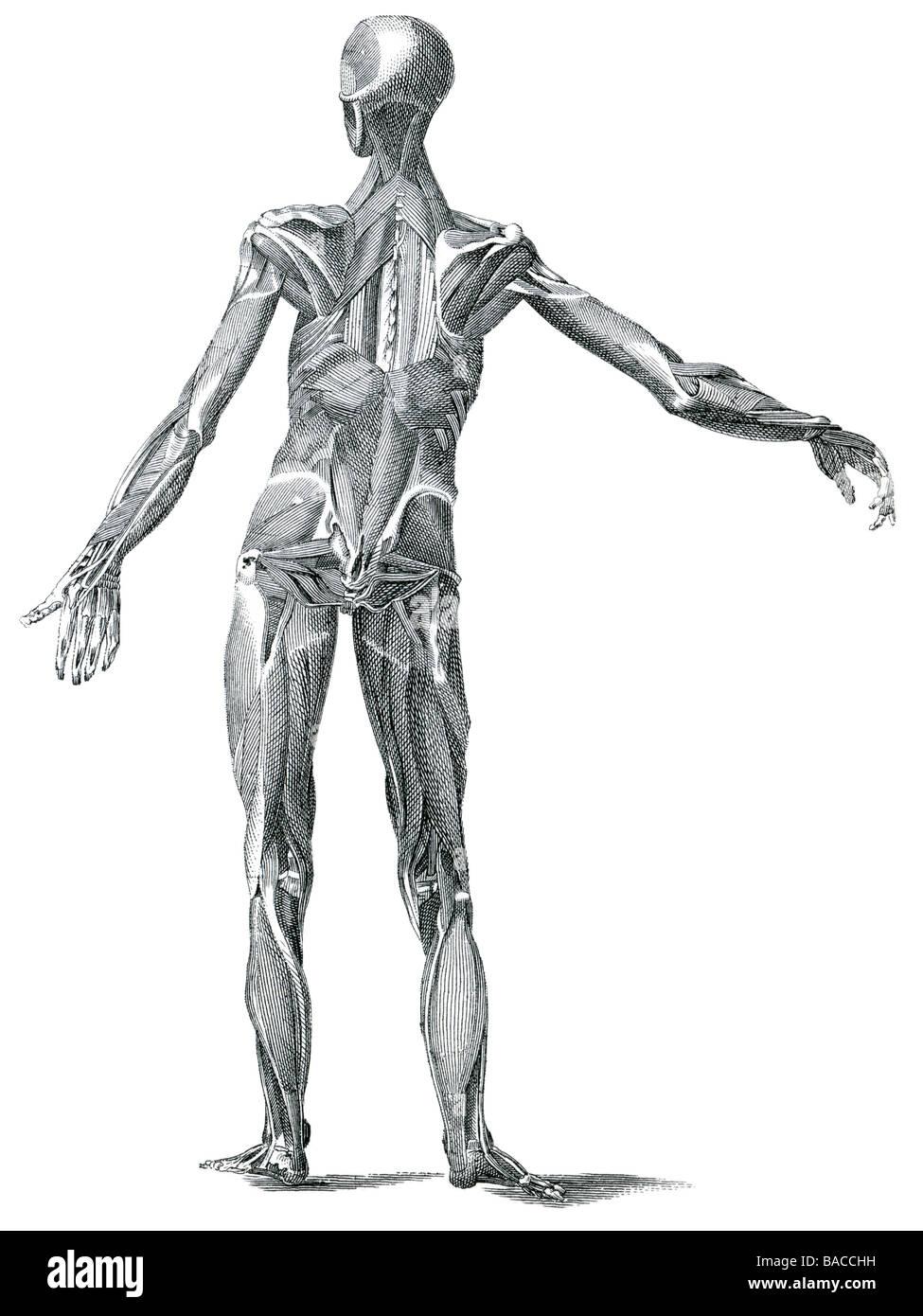 Nett Skelettmuskelzelle Galerie - Menschliche Anatomie Bilder ...