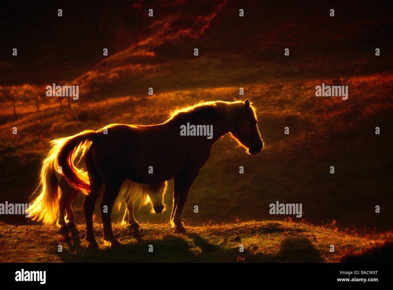 Pferde im Sonnenuntergang im Peak District Stockbild
