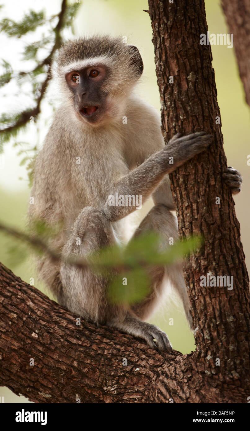 Vervet Affe auf einem Baum, Krüger Nationalpark, Südafrika Stockbild