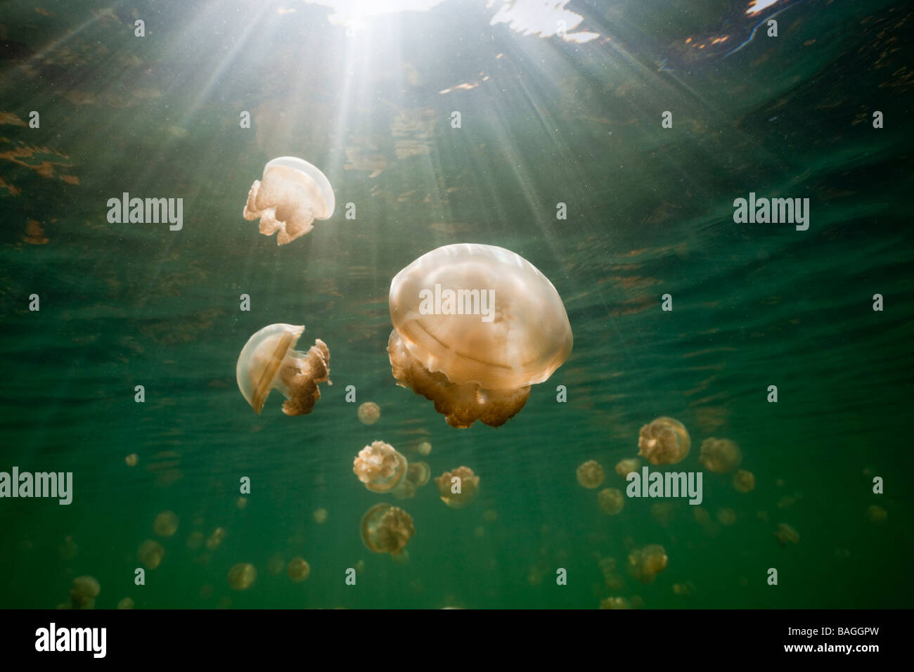 Endemische Mastigias Quallen Mastigias Papua Etpisonii Jellyfish Lake Mikronesien Palau Stockfoto