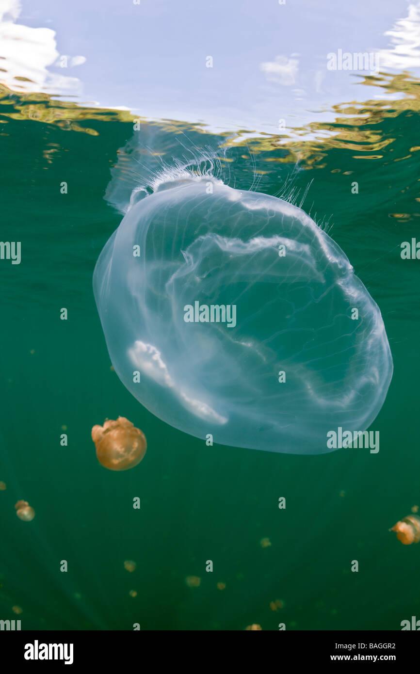 Riesigen Mond Qualle im Jellyfish Lake Golden Golden Jellyfish Lake Mikronesien Palau Stockfoto