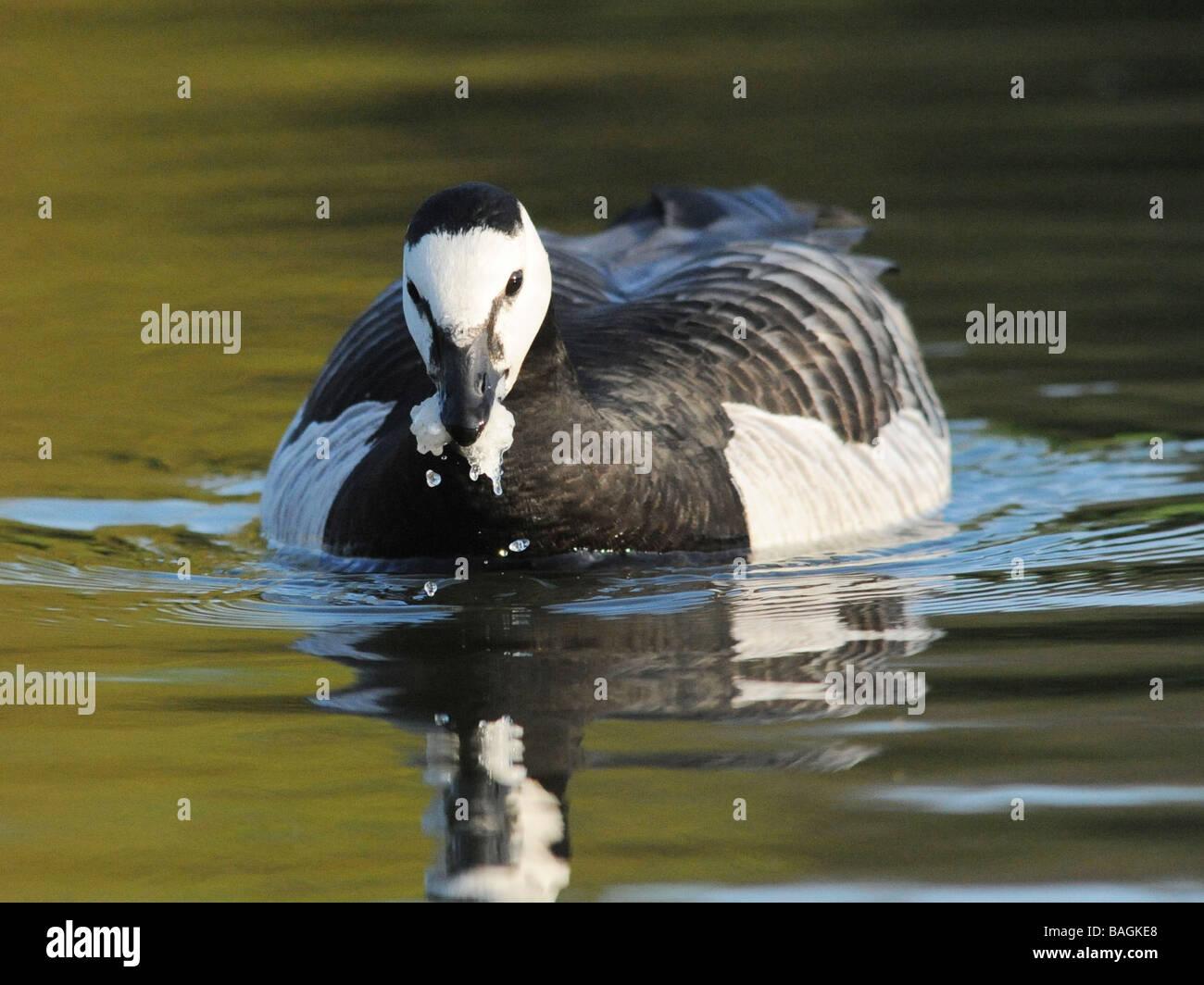 Eine schwarze und weiße Ente Essen einige nasse Brot. Stockbild