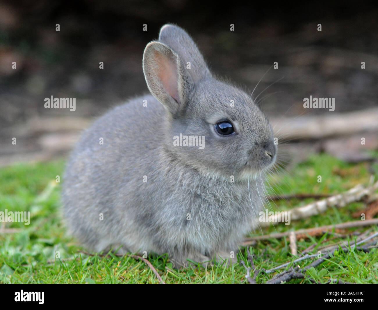 Ein kleines wild grau Baby-Kaninchen Stockfoto, Bild