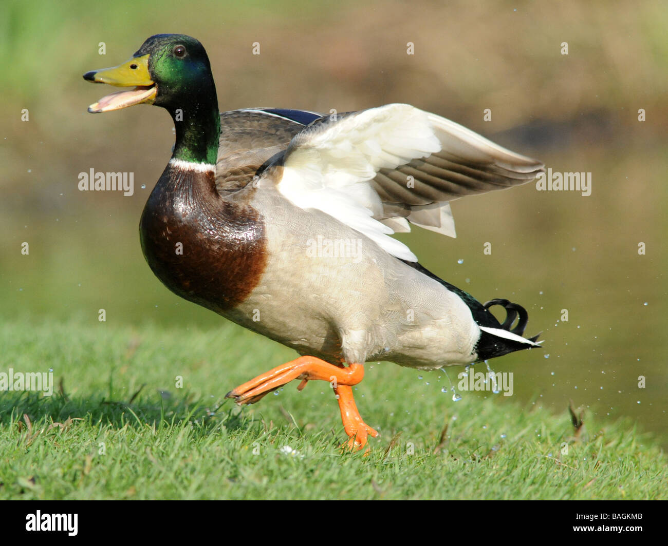 Eine sehr glückliche Ente, ein Lächeln auf den Lippen Ente. Stockbild