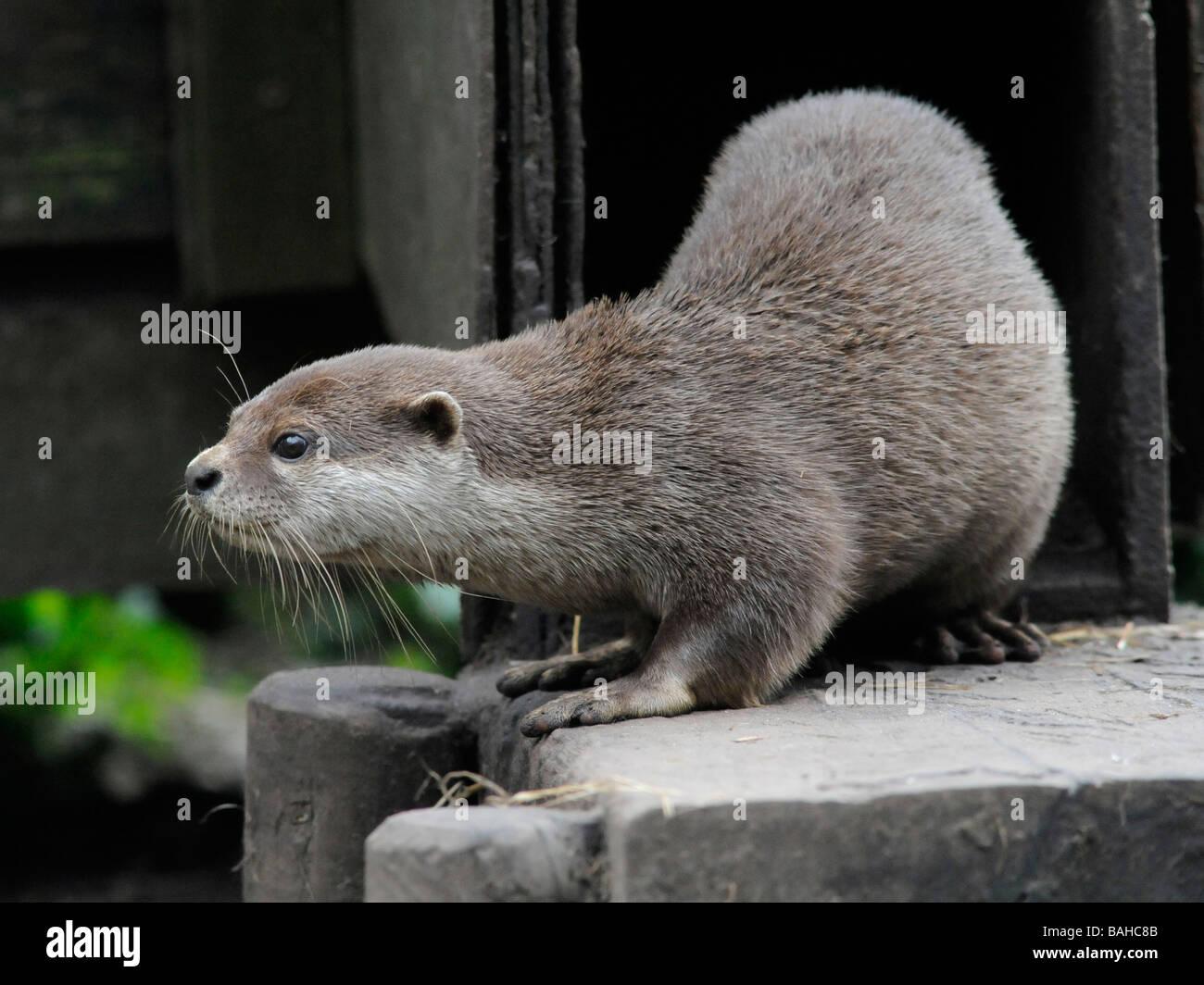 Eine asiatische kurze Krallen Otter auf Wache und Alarm außerhalb seiner Holt. Stockbild